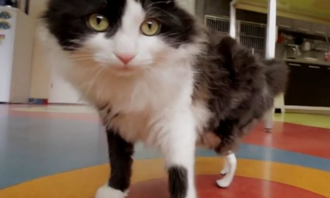 Szívszorító videó: így élhet újra boldog életet a láb nélküli macska