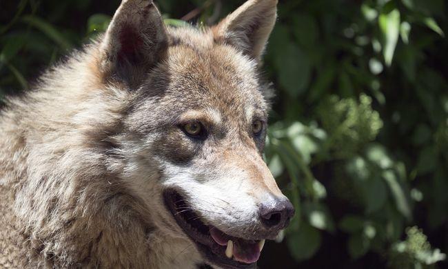 A semmiből tűnt fel a farkas, a két játszó gyerek már nem tudott elszaladni