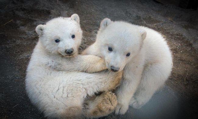Ha eléri Önt a mélabú, csak nézze meg ez a két szőrgombóc jegesmedvét!