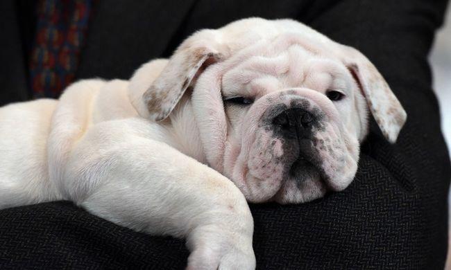 Halálra marcangolta a 3 évest a bulldog