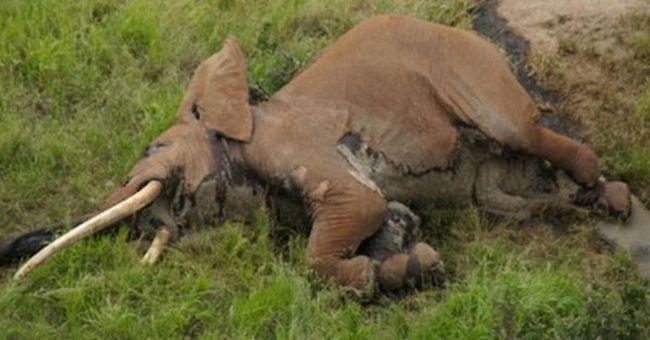 Szomorú látvány fogadta őket a repülőről - a legnagyobb elefánt teteme feküdt alattuk