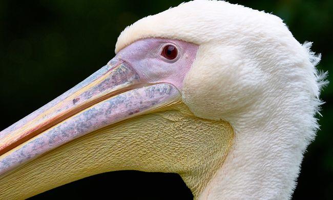 Fertőzés támadta meg az állatkertet, minden pelikánt elaltattak