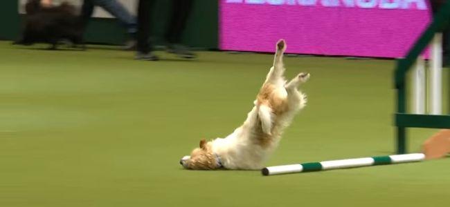 A világ legbénább kutyájáért őrül meg az internet - videó