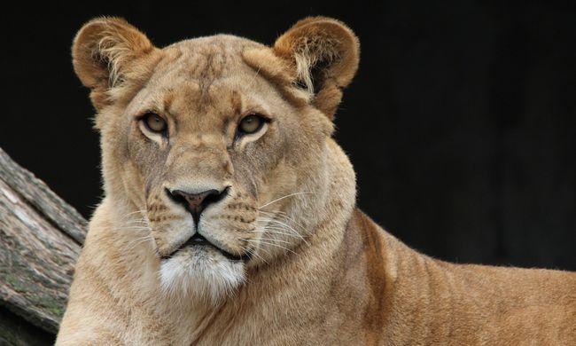 Széttépett egy kutyát és emberekre támadt a cirkuszi oroszlán