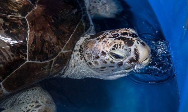 Kínhalált halt a teknős, 11 kiló fémet találtak a gyomrában