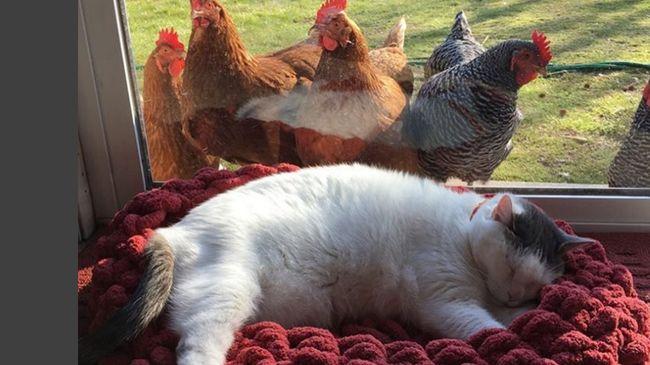 Kedvenc szokása a tyúkok előtt beterpeszteni, a cica nem szégyenlős