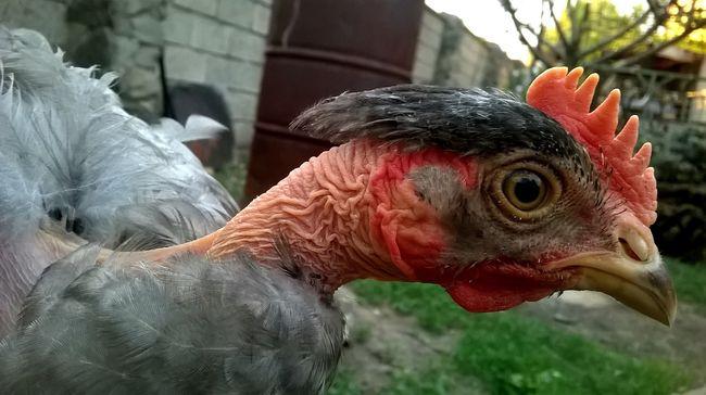 Felesége letolt nadrággal leplezte le, a férfi épp a közös csirkéjüket erőszakolta