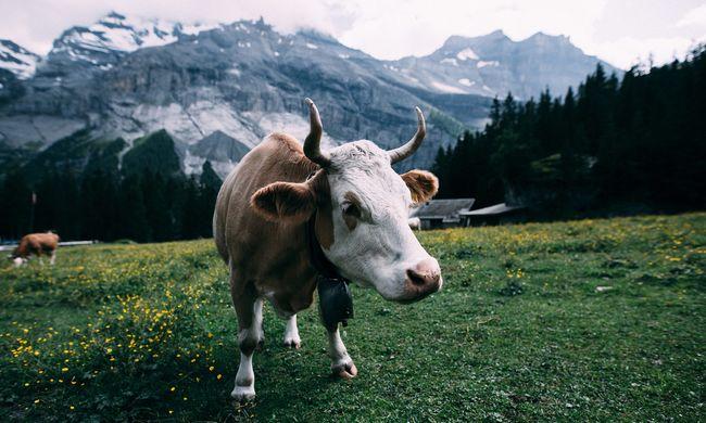 Visszatért a rettegett betegség: a marhákat támadó kór emberre is átterjedhet