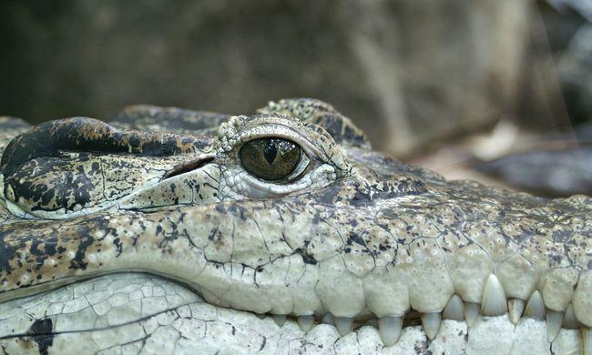 Elpusztult aligátort csempésztek a kollégiumi szobába a diákok