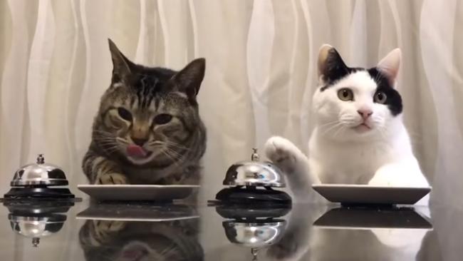 Ennél cukibb ma már nem lesz: így szereznek ételt a trükkös macskák - videó
