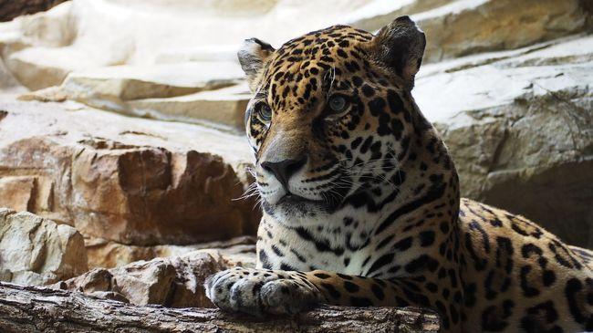Borzalmas pusztítást végeznek az orvvadászok: kipusztulhatnak a párducok