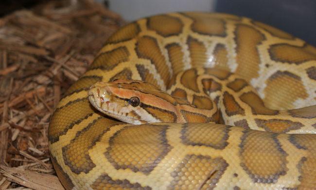 Hatalmas kígyókat kell gyűjteniük a lakosoknak