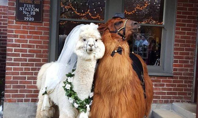 Ha különleges esküvőt szeretne, akkor itt a megoldás: ezekkel az állatokkal biztos a siker