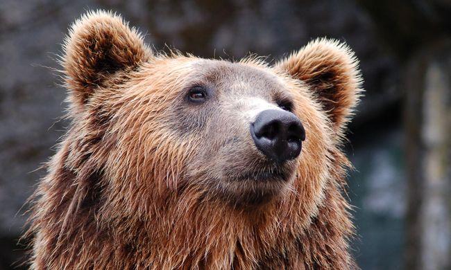 Riasztották a mentőcsapatot, medve támadt egy férfire