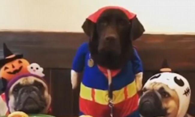 Édes videó készült a versenyen, a labrador előbb elrajtolt a tortáért