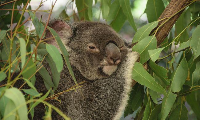 Ettől a képtől el fog olvadni, ő a világ legdögösebb koalája