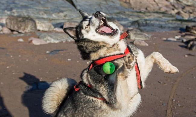 Imádni való videó: ilyen tehetségtelen kutyát még nem látott játék közben