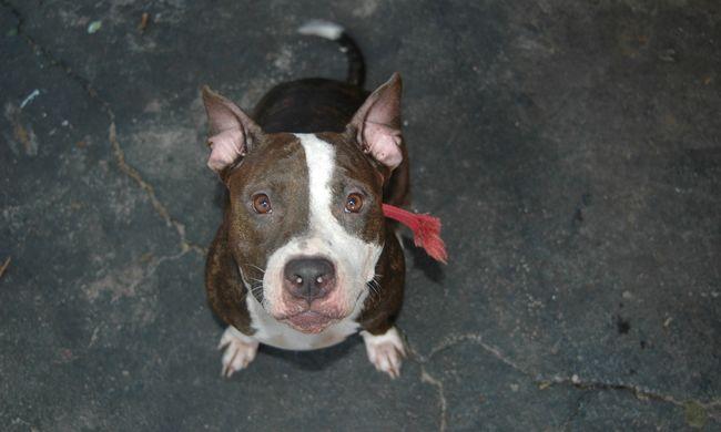Megmentette a családot a pitbull, pelenkájánál fogva ragadta meg a kislányt