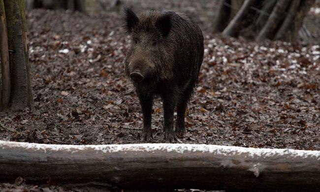 Vacsora után összeesett a család, mérgező lehetett a vaddisznóhús