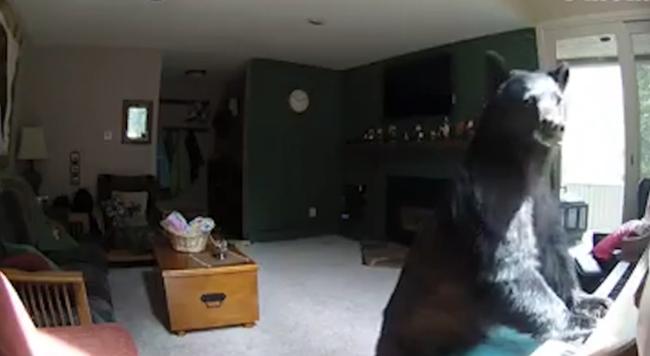 Óriási meglepetésben volt része a családnak, zongorázó medve dúlta fel a lakást