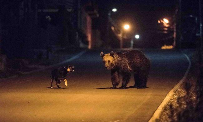 Medvék járkálnak az emberek között Tusnádfürdőn - fotók