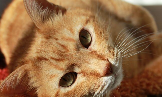 Hihetetlen kalandokon van túl Harry, a cica: két autó motorjába is beszorult egymás után