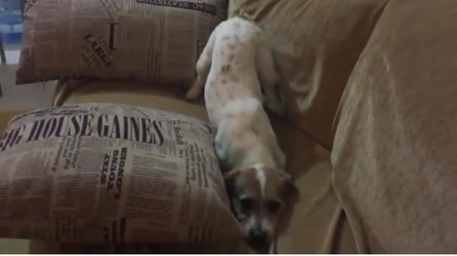 Imádni való videó: horrorfilmet nézett a kiskutya, de nem bírta az izgalmakat