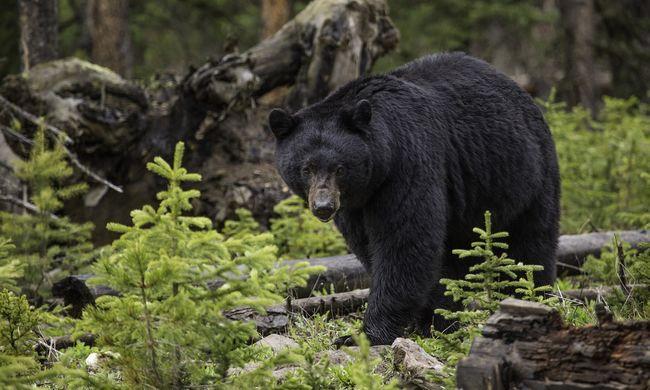 Kocsiba szorult egy medve, dudálás kíséretében törte ki az ablakot - videó