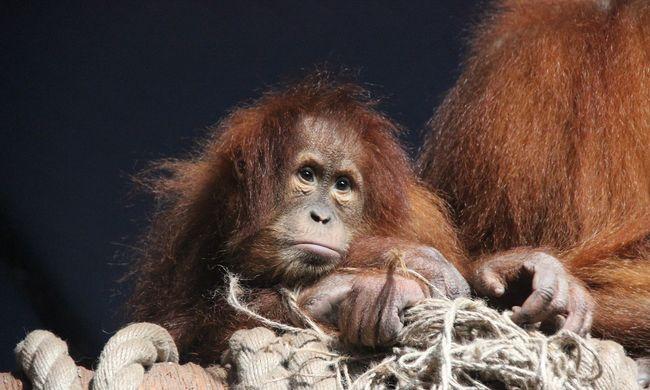 Csoda az állatkertben, 13 év után született borneói orangután