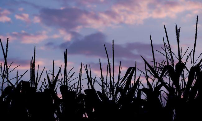 Kukoricásban térdelve találtak az eltűnt szolnoki férfira
