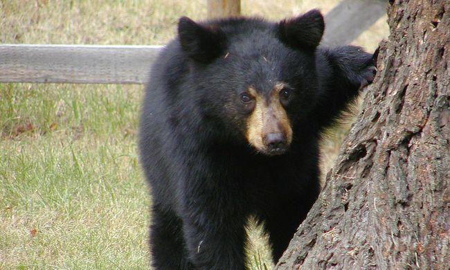 Íme a legudvariasabb medve, aki becsengetett egy családhoz - videó