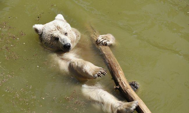 Elkeserítő a helyzet, az emberek miatt fognak tömegesen elpusztulni a jegesmedvék