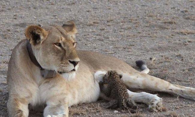 Különleges család: oroszlán eteti a leopárdbébit