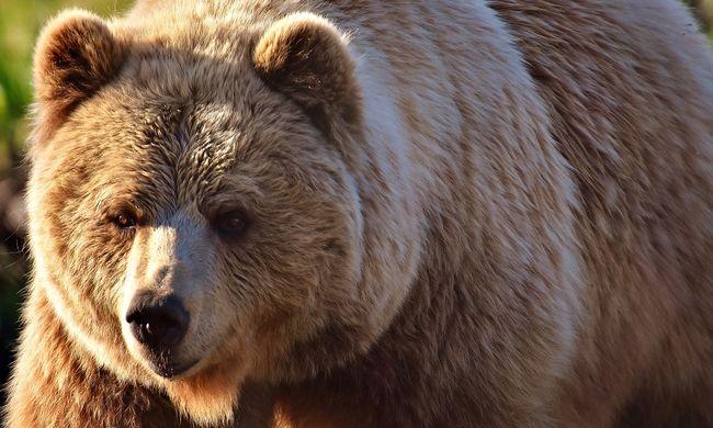 Furcsa túszejtés a nyaraláson: medve tartott fogságban egy egész családot