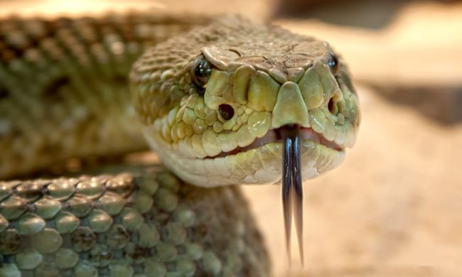 Megmarta a kígyója, nem volt ellenszer