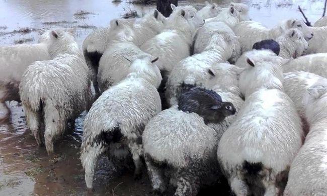 Rafinált módon menekültek meg az árvíztől, birkák hátára csimpaszkodtak a nyulak