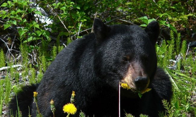 Idős férfit ölt meg az állatkerti medve