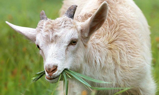 Meglepő program: kecskéket kapnak a migránsok