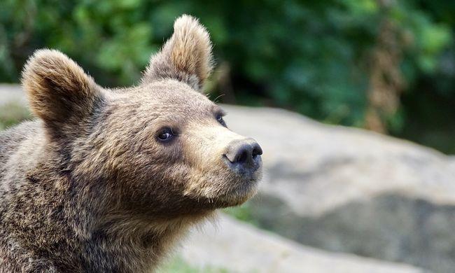 Visszatért a torkos medve, a sípálya mellett ólálkodott