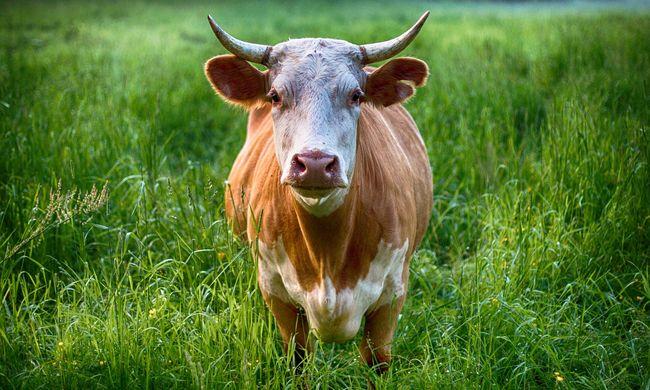 Különös irányt vett a technológia fejlődése: teheneknek készült társkereső alkalmazás