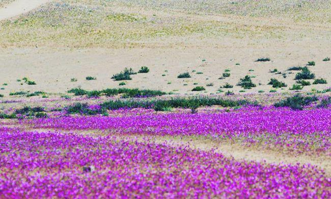 Csoda történt: kivirágzott a sivatag