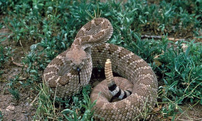Megmarta a saját kígyója a hevesi férfit, ez buktatta le a rendőrök előtt