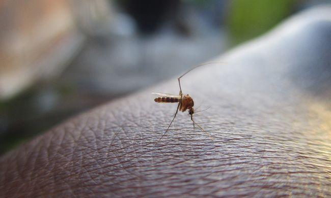 Újfajta szúnyogfaj jelent meg Magyarországon, betegségeket terjeszt