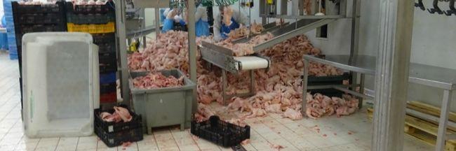 Horror a szatmári vágóhídon: a padlóra szórták a fejetlen csirkéket