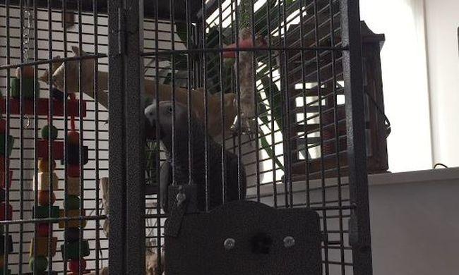 Különleges dolgot tett Buddy, a papagáj: gazdái csak ámulnak rajta