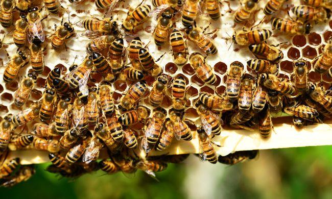 Méhek segítségével derítenék ki, mekkora is a légszennyezettség
