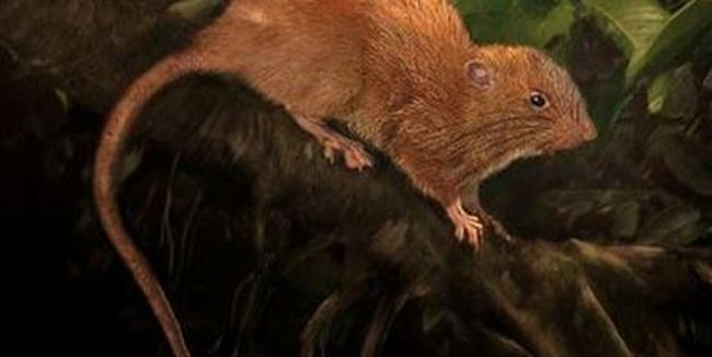 Ilyenre még nem volt példa, óriási patkányt fedeztek fel a kutatók