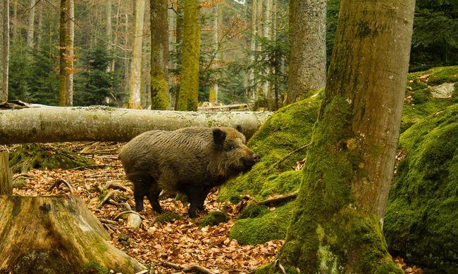 Különös állatot találtak az erdőben, az atomkatasztrófa változtatta meg