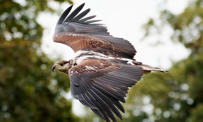 Különleges egységet vetnek be: madarakkal védik a légteret