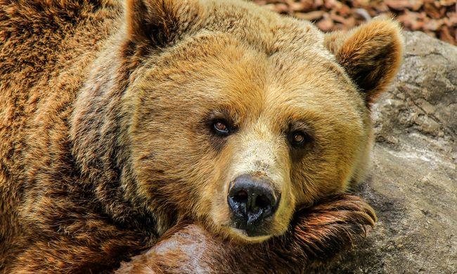 Medvét gázoltak az autópályán, egy másikat pedig kilőttek
